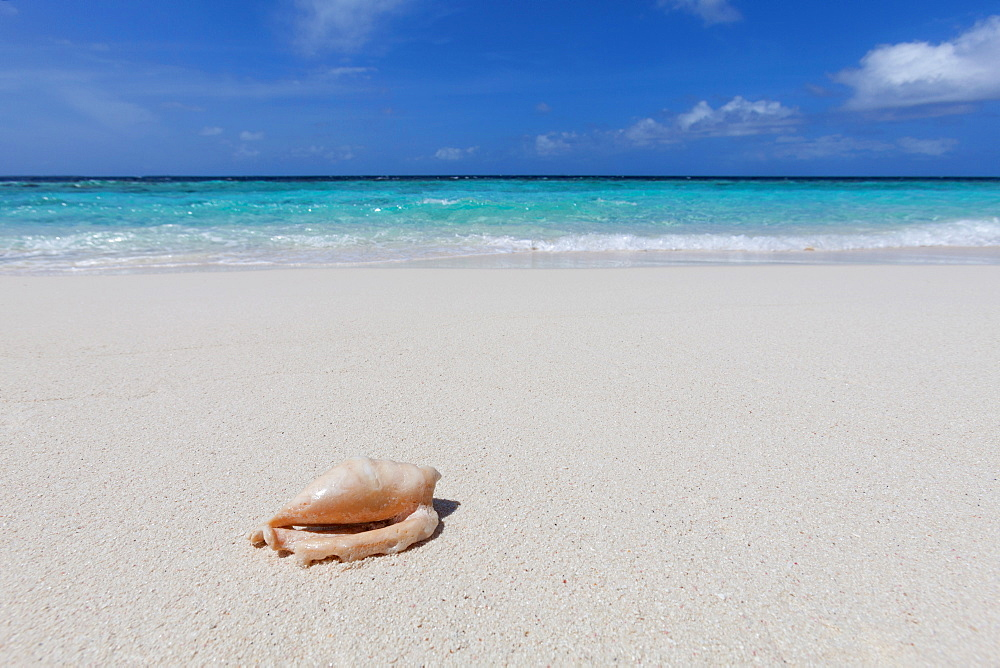 A shell washed up on a deserted beach on an island in the Maldives, Indian Ocean, Asia