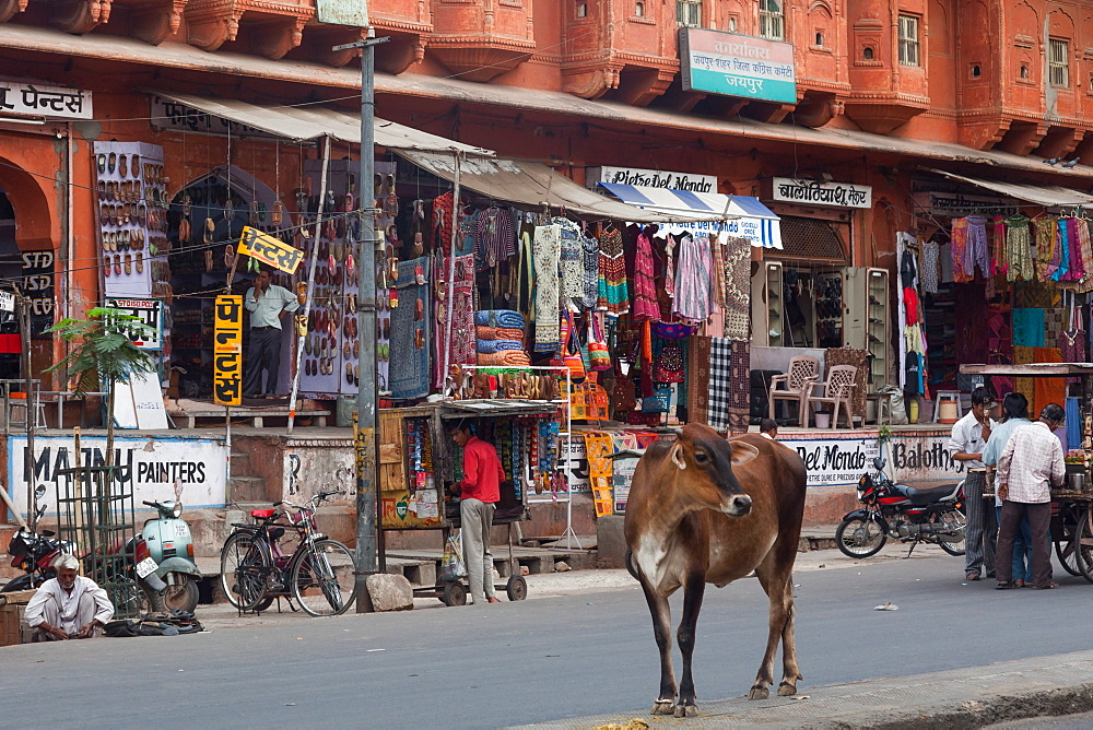 Cow on the street in Jaipur, Rajasthan, India, Asia