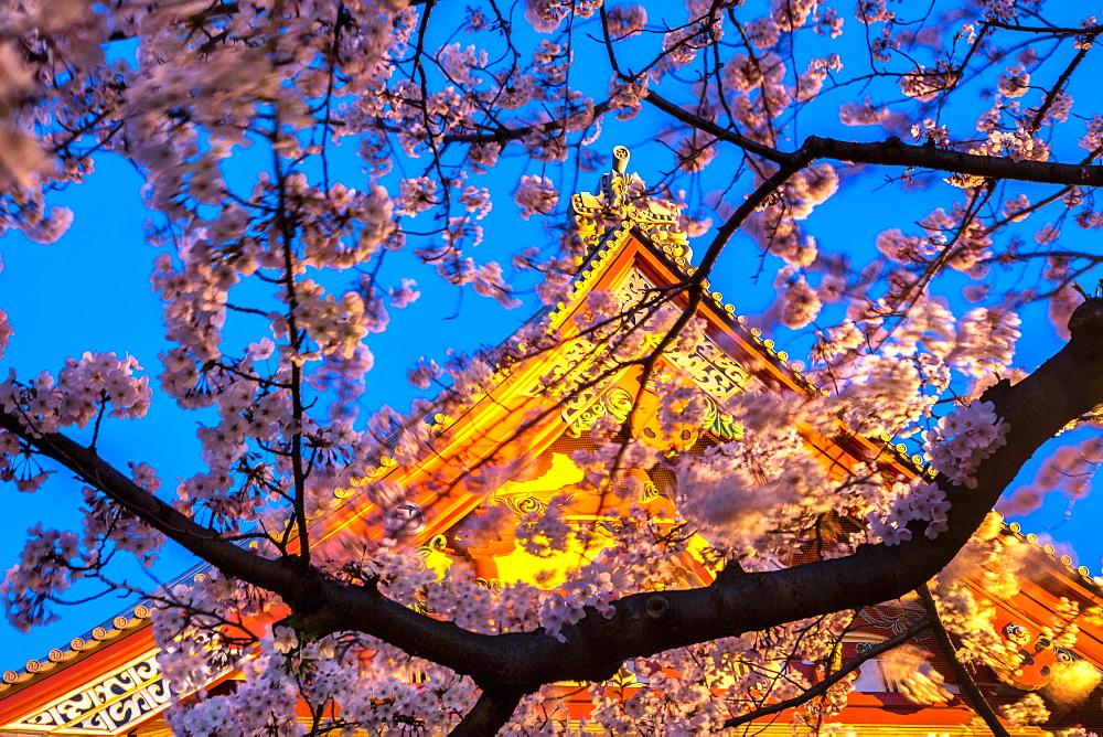 Sensi-ji Temple in Tokyo at night, seen through cherry blossom, Tokyo, Japan, Asia