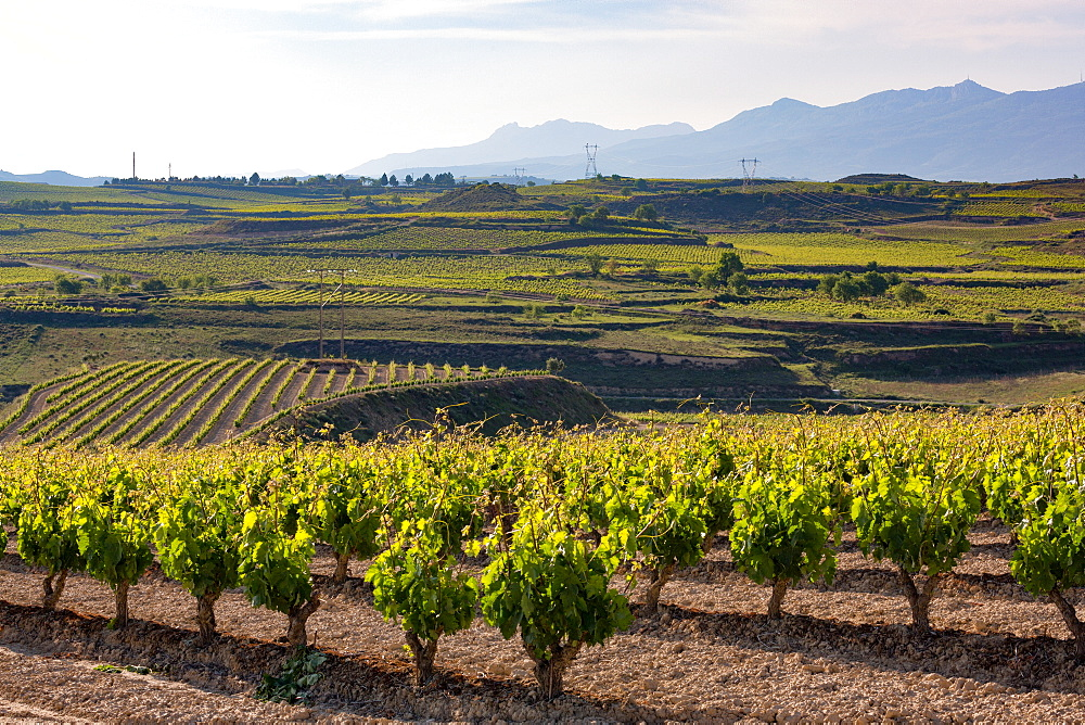 Vineyards in the Rioja region, Spain, Europe - 785-2090
