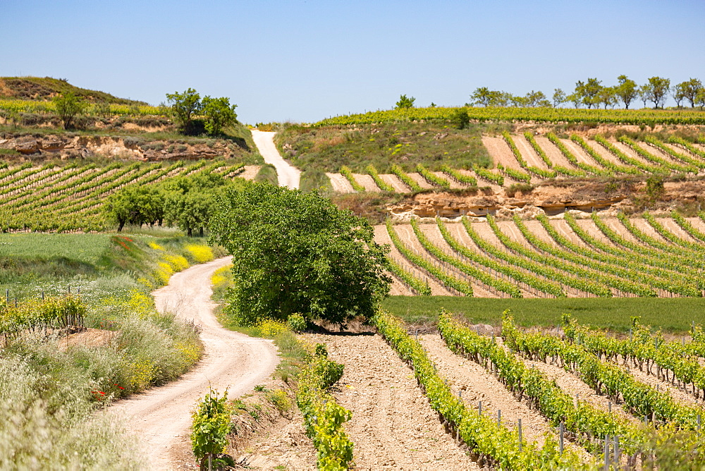 Vineyards in the Rioja region, Spain, Europe - 785-2094