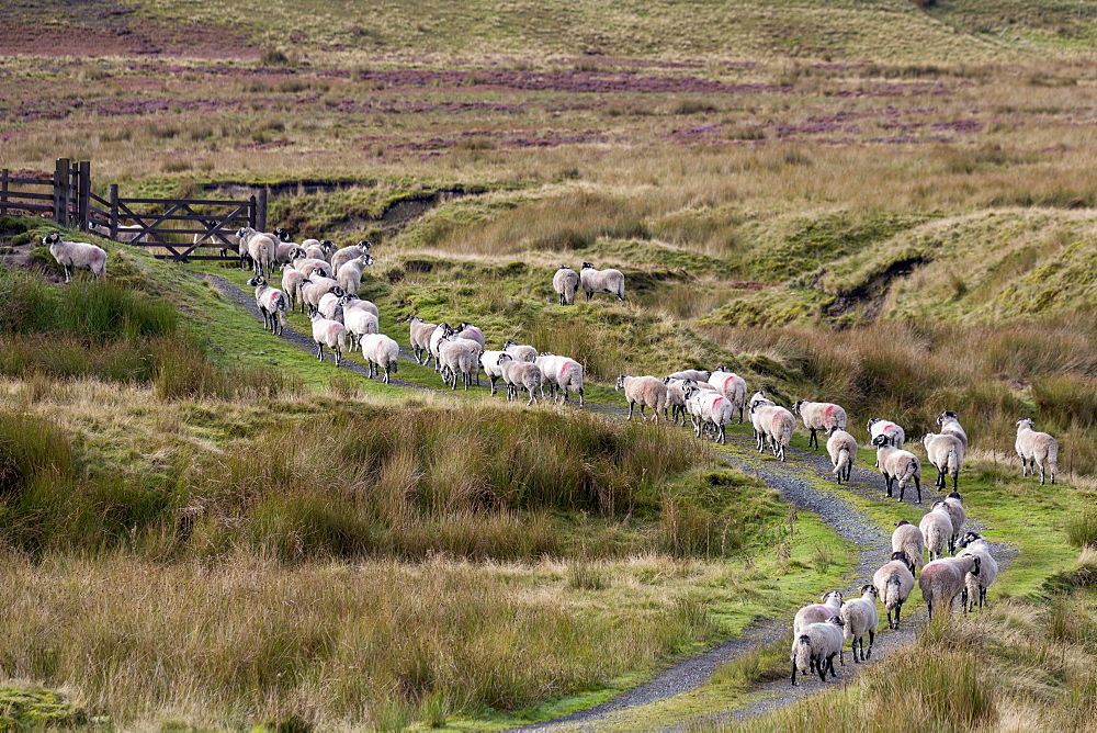A herd of Swaledale sheep walking along a path on a hillside in the Forest of Bowland in Lancashire, England, United Kingdom, Europe - 785-2324