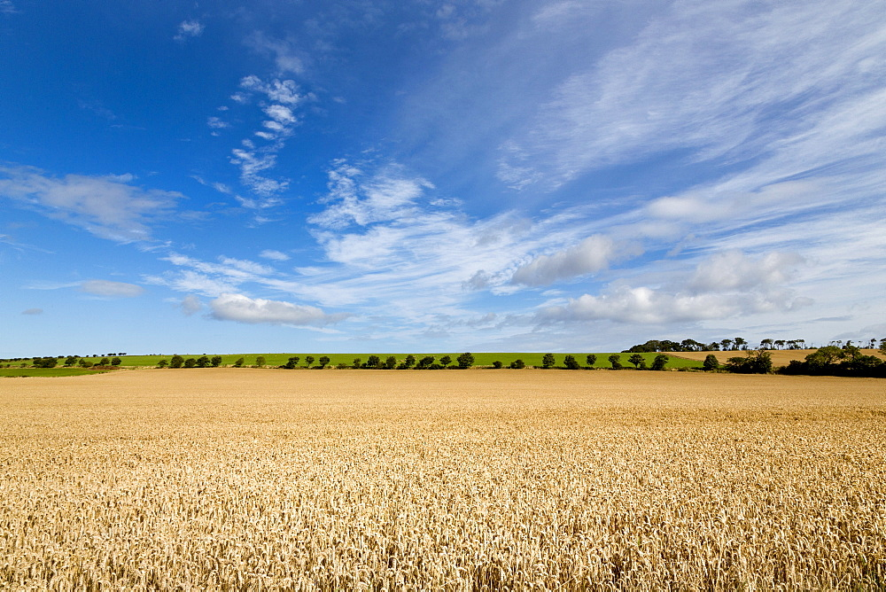 Large ripening wheat field in Northumberland, England, United Kingdom, Europe - 785-2335