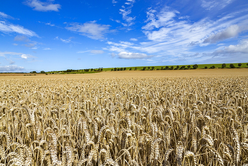 Large ripening wheat field in Northumberland, England, United Kingdom, Europe - 785-2336