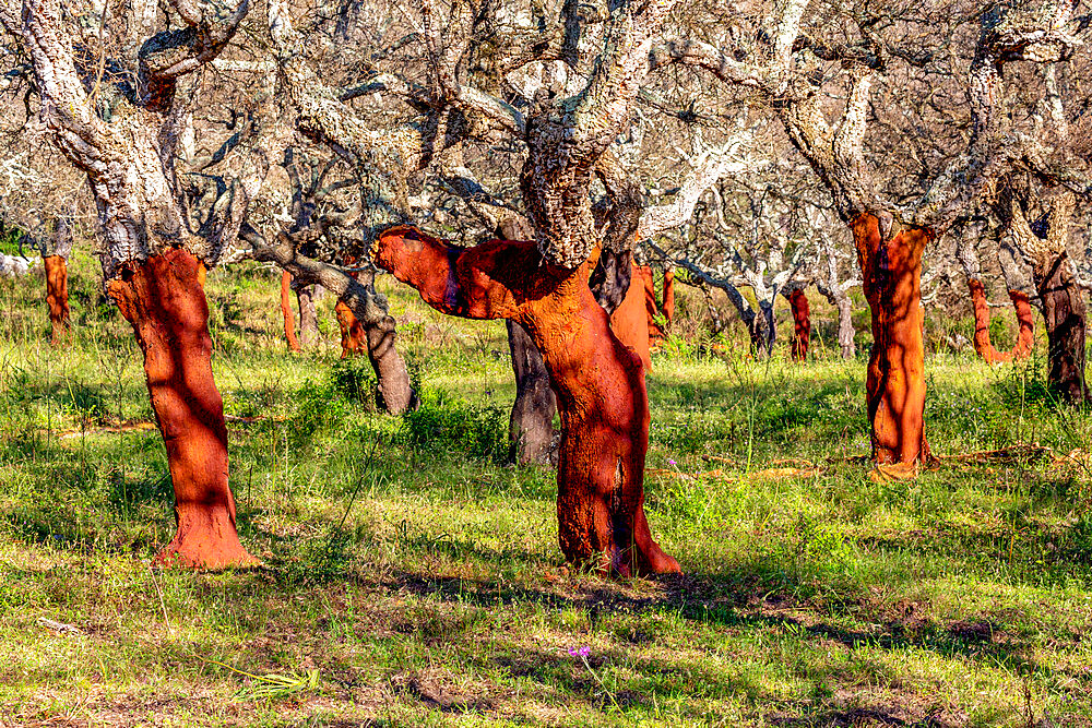 Stripped cork trees in rural Corsica