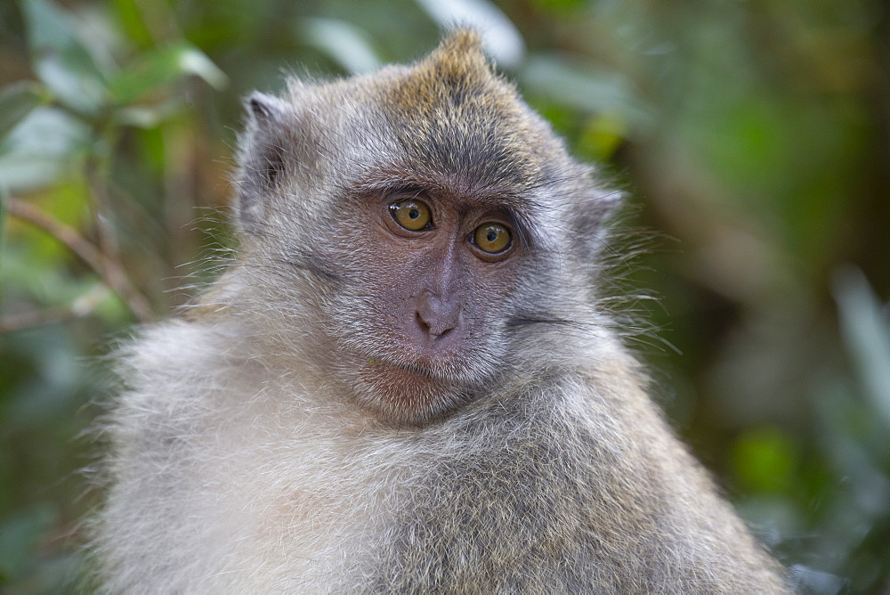 Close-up of a macaque monkey in the rain forest in Langkawi, Malaysia, Southeast Asia, Asia