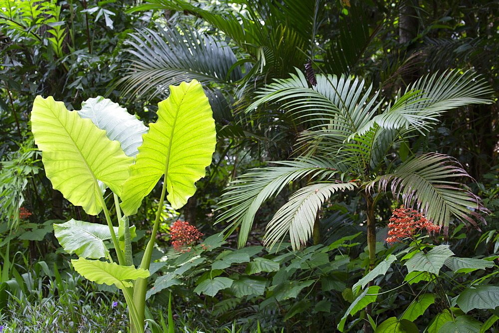 Flora in the ten million year old rain forest in Langkawi, Malaysia, Southeast Asia, Asia