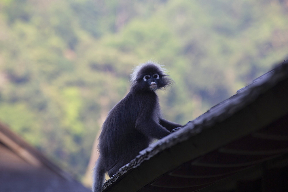 A dusky leaf monkey, (spectacled langur, dusky langur) on a rooftop at the Datai hotel in the Langkawi rainforest