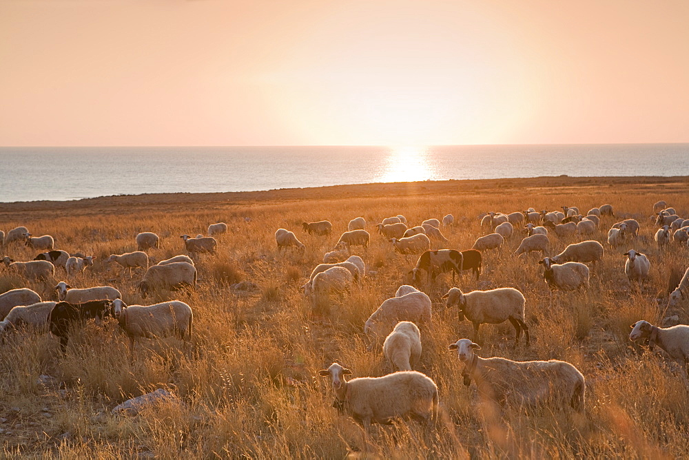 Flock of sheep at sunset by the sea, near Erice, western Sicily, Italy, Europe - 791-35