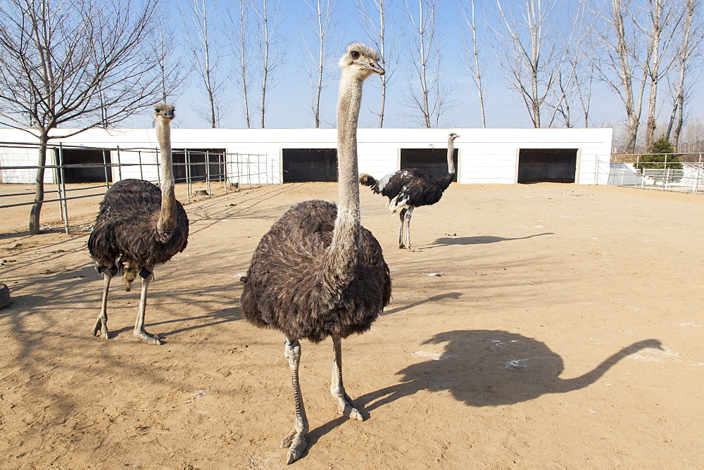 Ostrich farm near Pyongyang which supplies Ostrich meat to some of Pyongyang's restaurants, Democratic People's Republic of Korea (DPRK), North Korea, Asia