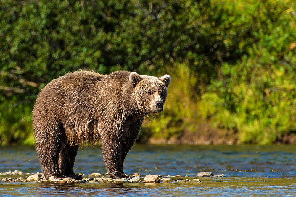 Grizzly bear (brown bear) (Ursus arctos), Moraine Creek (River), Katmai National Park and Reserve, Alaska, USA.