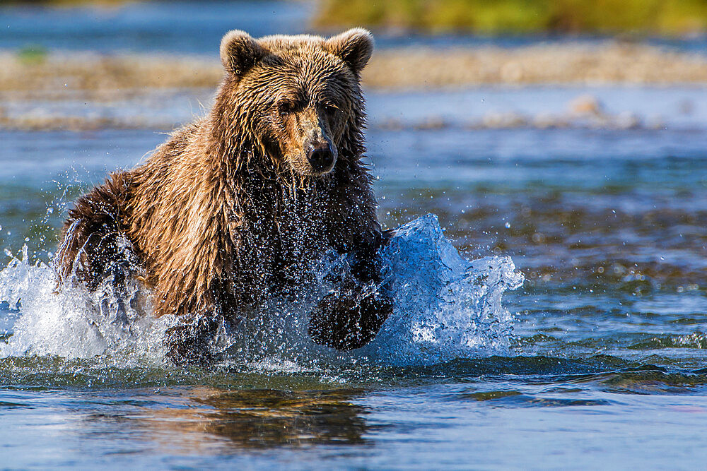 Grizzly bear (brown bear) (Ursus arctos), Moraine Creek (River), Katmai National Park and Reserve, Alaska, United States of America, North America - 796-2376