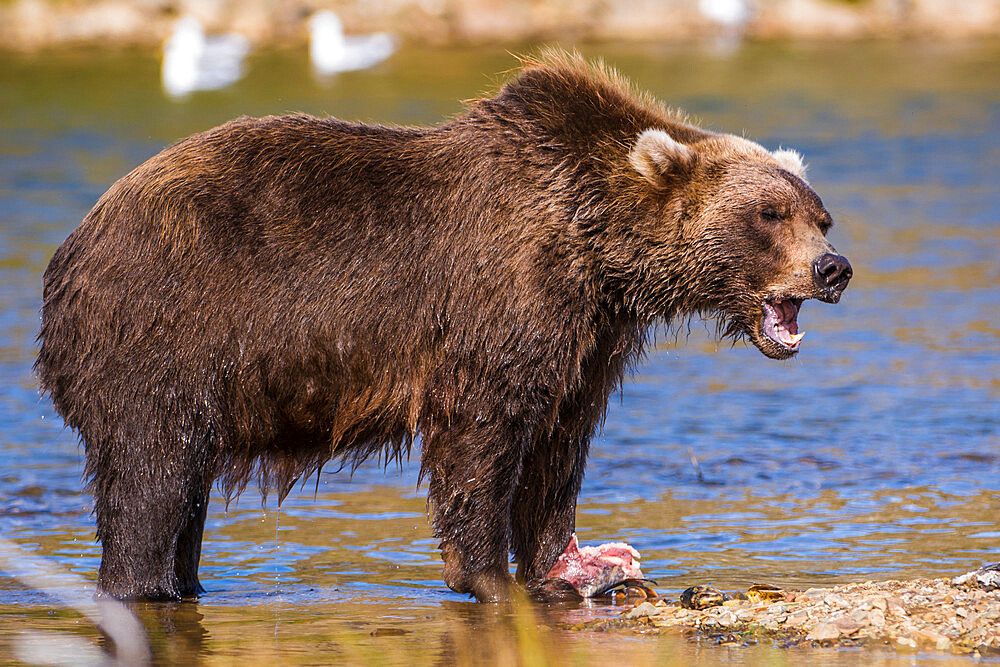 Grizzly bear (brown bear) (Ursus arctos), Moraine Creek (River), Katmai National Park and Reserve, Alaska, United States of America, North America - 796-2378