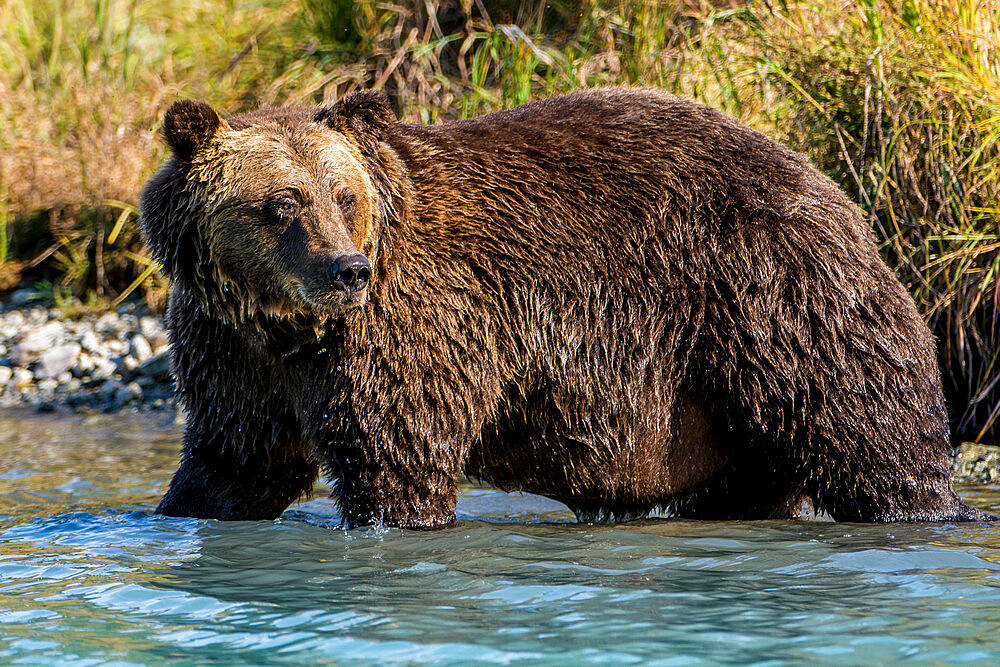 Grizzly (brown) bear (Ursus arctos) at Crescent Lake, Lake Clark National Park and Preserve, Alaska, United States of America, North America - 796-2396