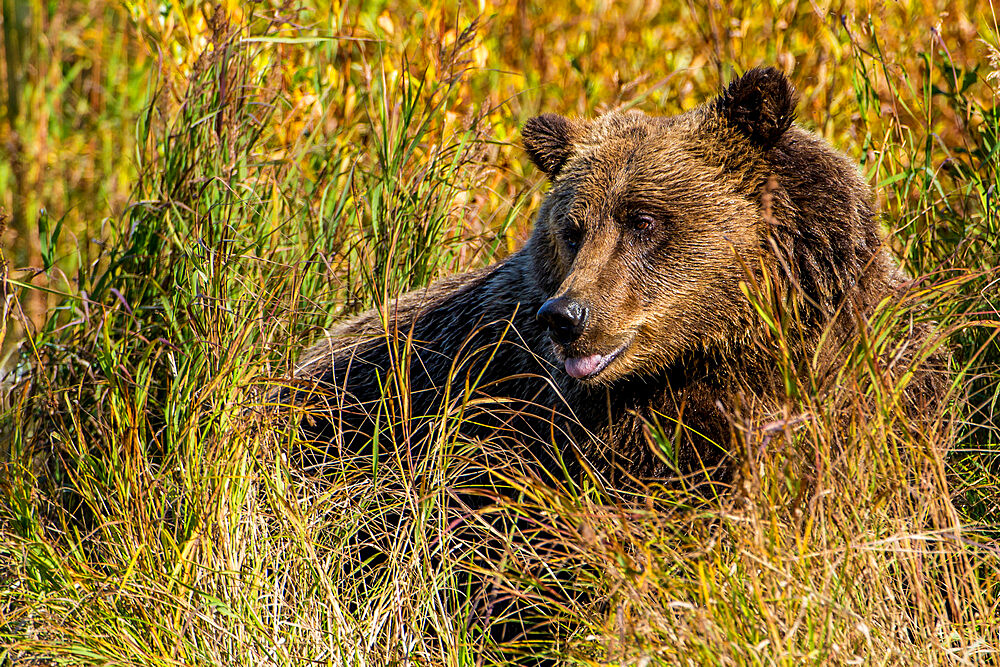 Grizzly (brown) bear (Ursus arctos) at Crescent Lake, Lake Clark National Park and Preserve, Alaska, United States of America, North America - 796-2397