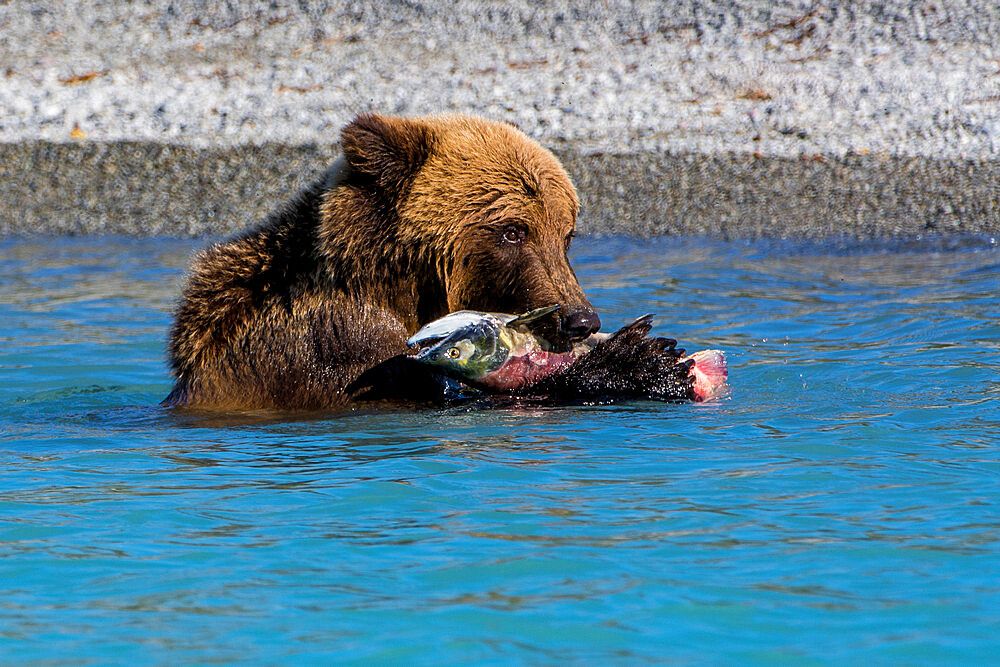 Grizzly bear (brown bear) (Ursus arctos) at Crescent Lake, Lake Clark National Park and Preserve, Alaska, United States of America, North America - 796-2398