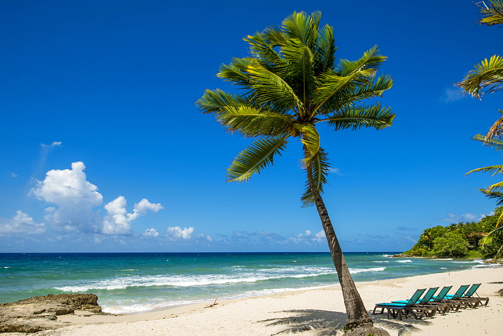 Palm tree at Carambola Beach Resort in Saint Croix, US Virgin Islands - 796-2443