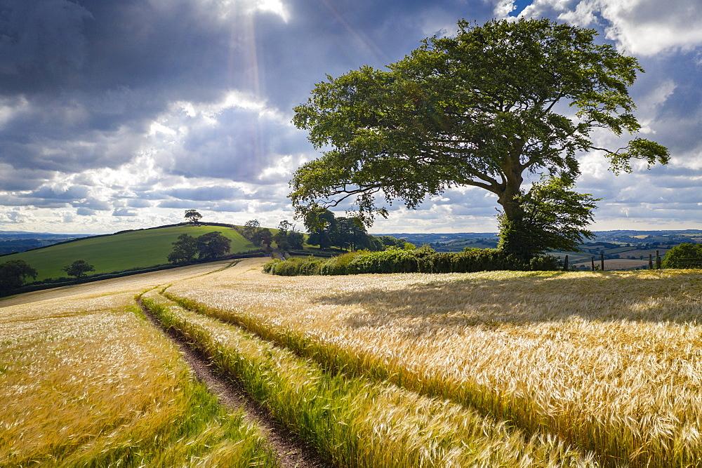 Crop field and windswept tree, Devon, England. Summer (June) 2020.