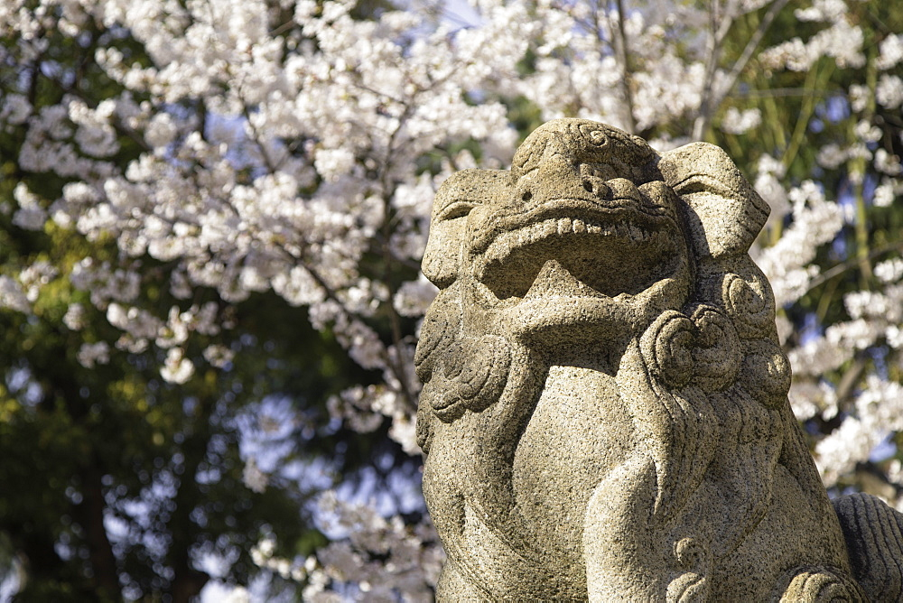 Cherry blossom and lion statue at Ikuta Jinja shrine, Kobe, Kansai, Japan
