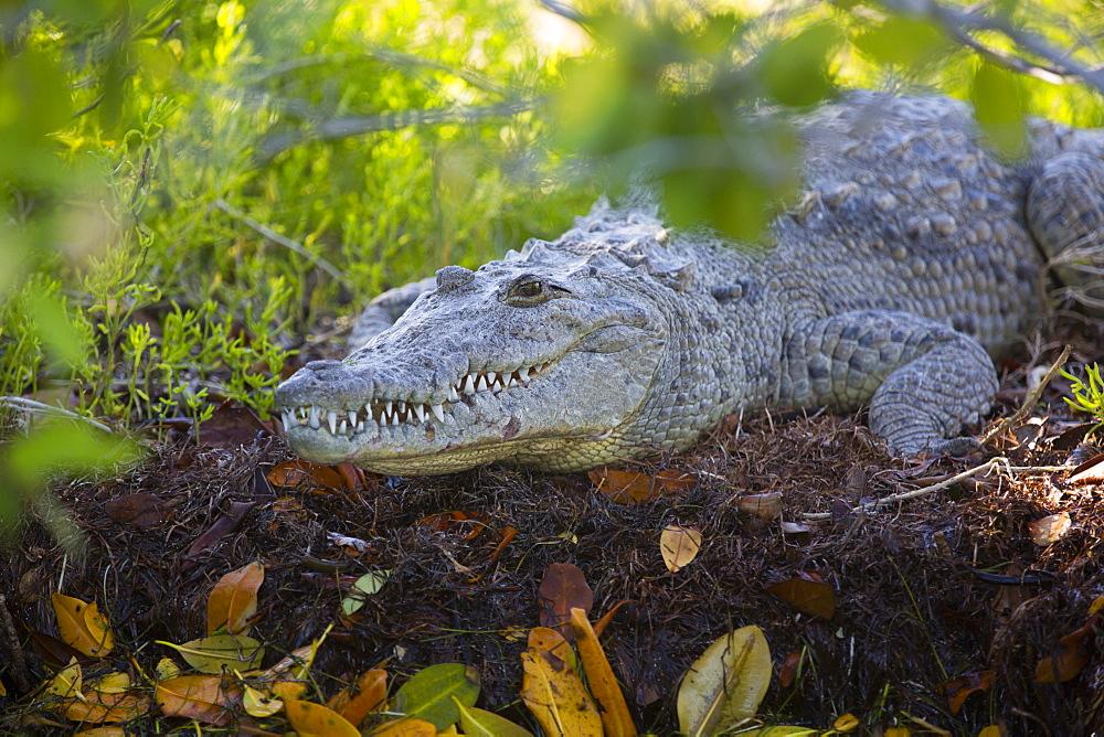 Morelet Crocodile (Crocodylus Moreletii), Rio Lagartos Biosphere Reserve, Rio Lagartos, Yucatan, Mexico, North America
