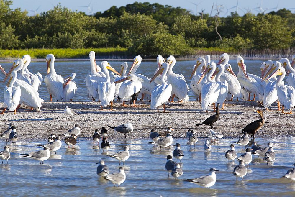 American White Pelicans (Pelecanus Erythrorhynchos), Rio Lagartos Biosphere Reserve, Rio Lagartos, Yucatan, Mexico, North America