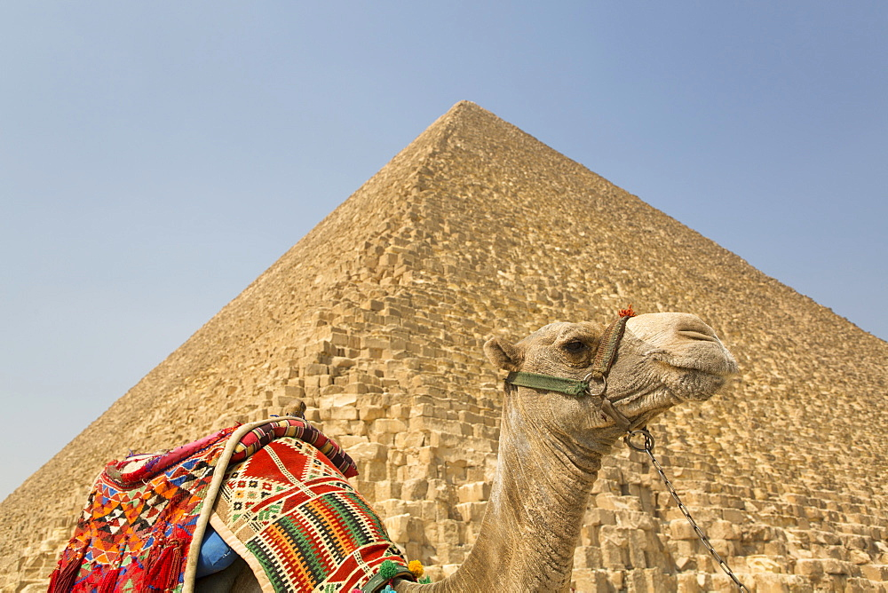 Camel, Cheops (Khufu) Pyramid in background, Great Pyramids of Giza, UNESCO World Heritage Site, Giza, Egypt, North Africa, Africa