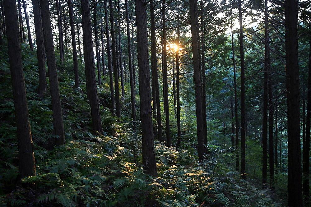 Forest at Mount Joyaima, Izu Peninsula, Honshu, Japan, Asia