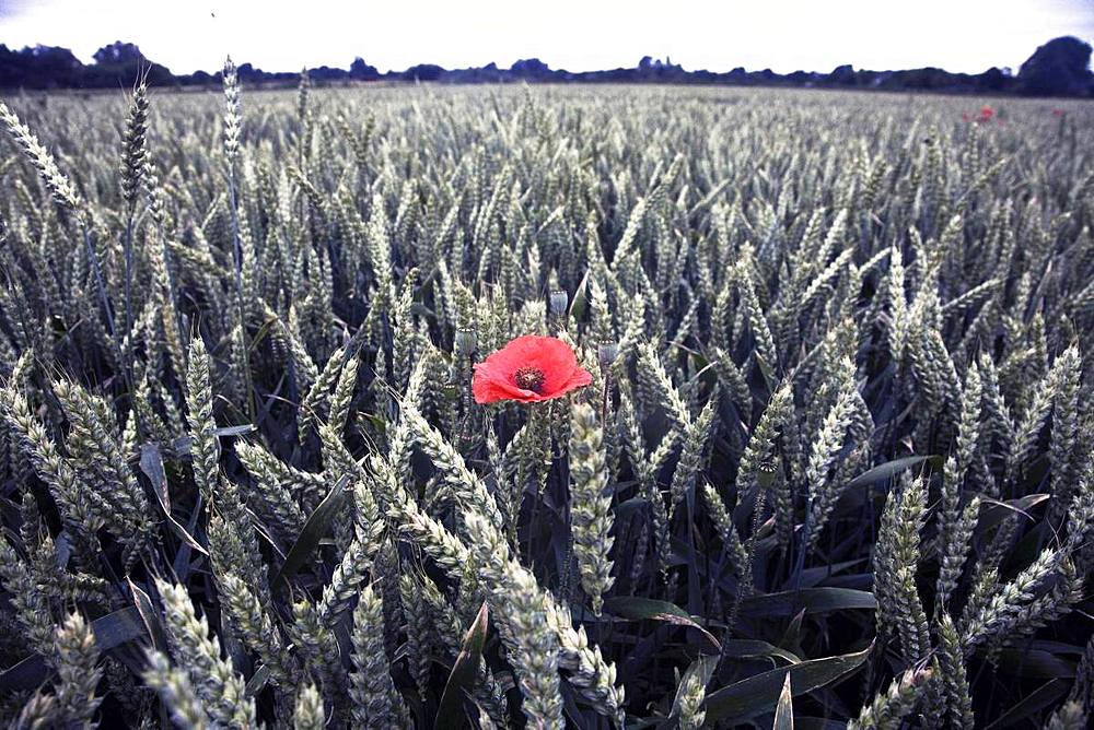 Poppy in a field of wheat, Norfolk, England, United Kingdom, Europe - 802-488