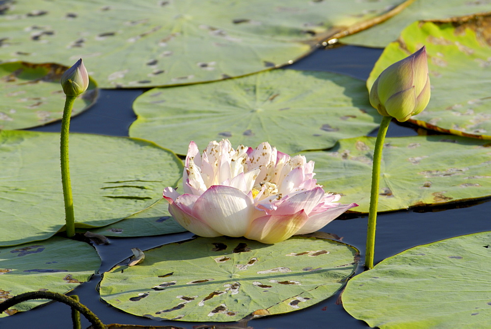 Pond filled with lotus, Tamil Nadu, India, Asia - 804-228