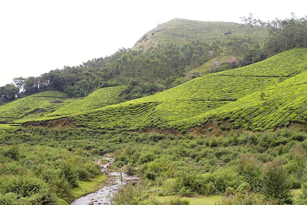 Landscape, Munnar, Kerala, India, Asia - 804-286