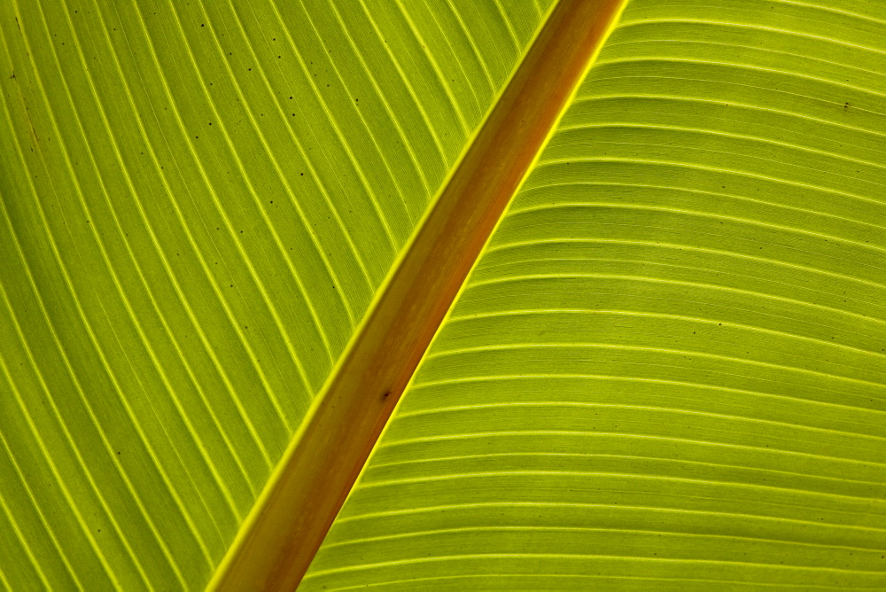 Close-up of plantain leaf - 804-292