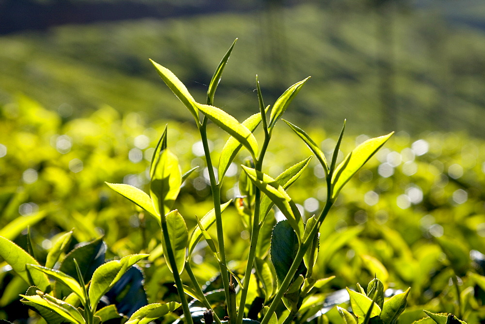 Tea leaves, Munnar, Kerala, India, Asia - 804-323