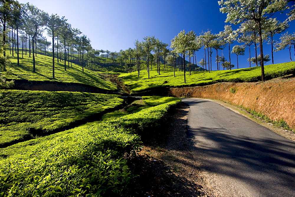 Tea plantations, Vagamon, Kerala, India, Asia - 804-324