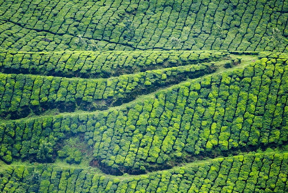 Tea gardens, Munnar, Kerala, India, Asia - 804-326
