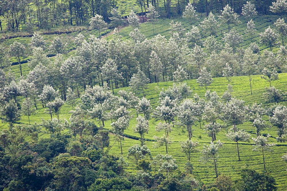 Landscape, Munnar, Kerala, India, Asia