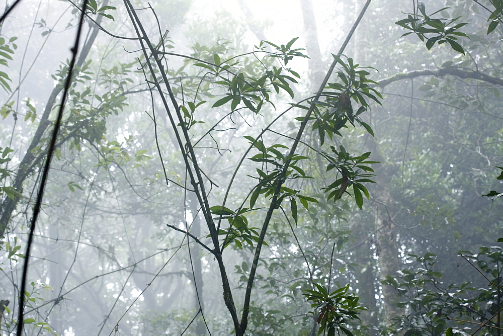 Shola forest interior in mist, Eravikulam National Park, Kerala, India, Asia - 804-356