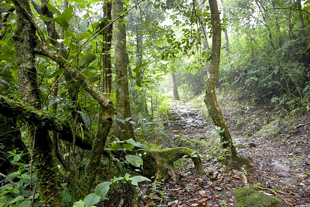 Shola forest interior, Eravikulam National Park, Kerala, India, Asia - 804-357