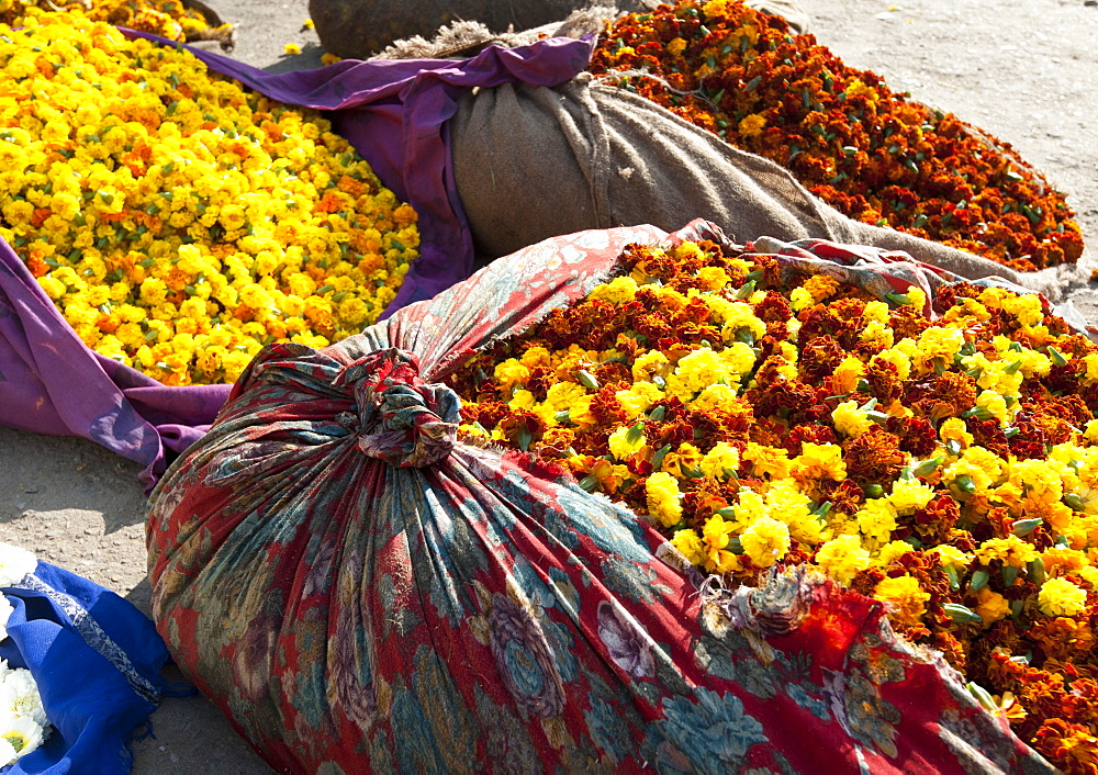 Cut yellow marigolds, weighed and bagged in cloth bundles, for sale in the early morning flower market, Jaipur, Rajasthan, India, Asia