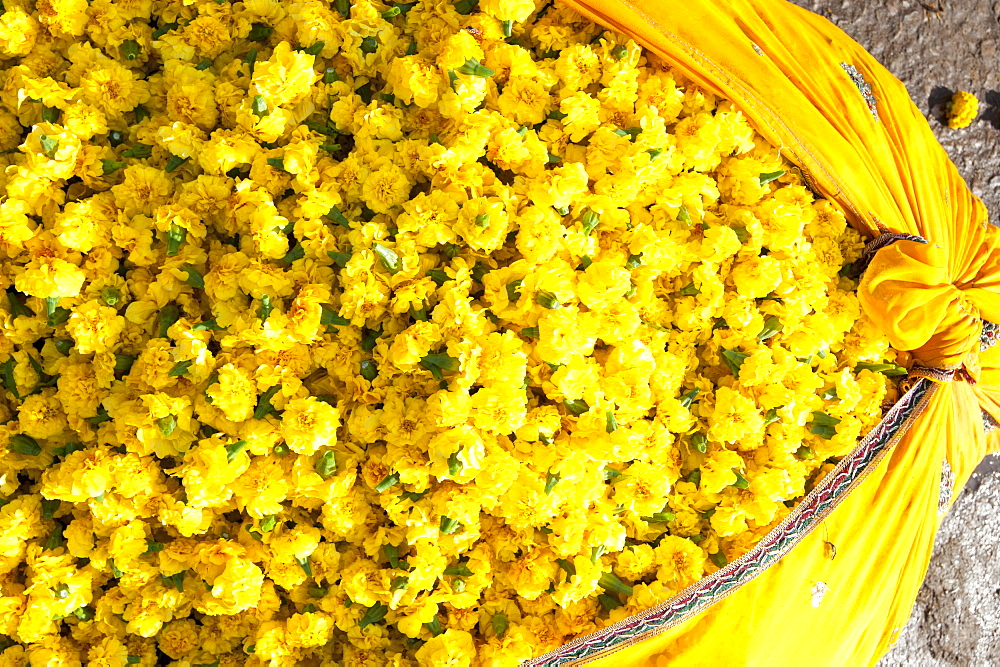 Cut yellow marigolds, weighed and bagged in cotton cloth bundle, for sale in the early morning flower market, Jaipur, Rajasthan, India, Asia