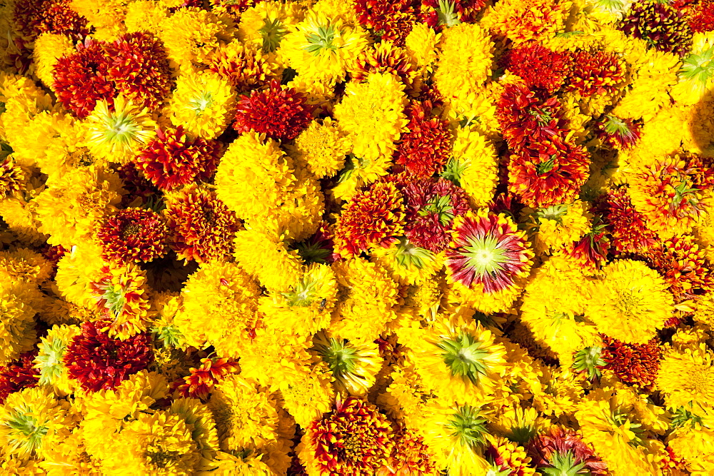 Cut yellow marigolds for sale in the early morning flower market, Jaipur, Rajasthan