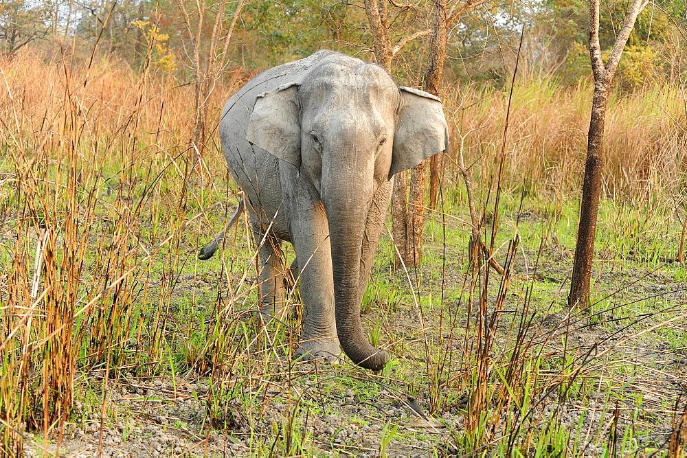 Young wild elephant emerging from grassland in Kaziranga National Park, Assam, India, Asia - 805-1302