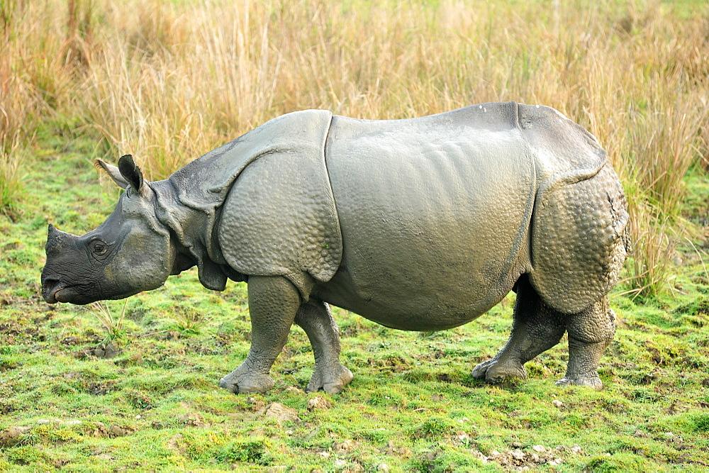 Greater one-horned Rhino, one of 2400 in the Kaziranga National Park, Assam, India, Asia - 805-1304