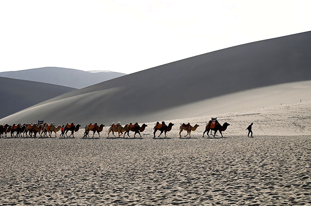 Camels being led back through the Singing Sand Dunes, Dunhuang, Northwest Gansu province, China, Asia