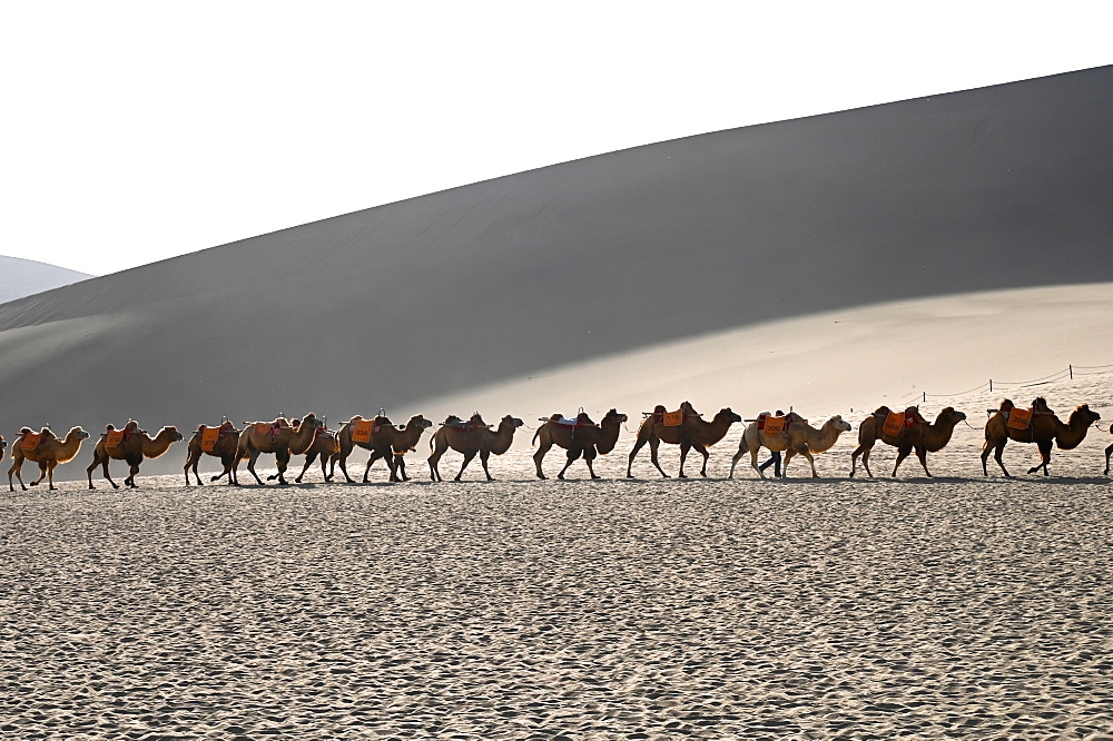 Camels being led back through the Singing Sand Dunes in late afternoon, Dunhuang, Gansu, China, Asia - 805-1345