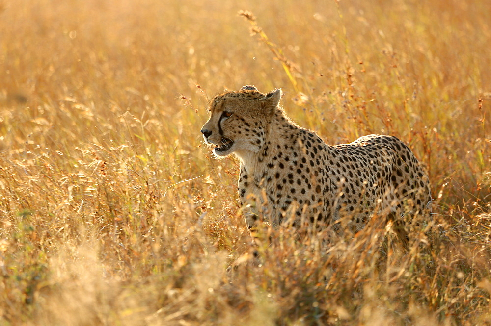 Kruger National Park. Lower Sabie. Cheetah ( Acinonyx jubatus ) in savanna. South Africa.