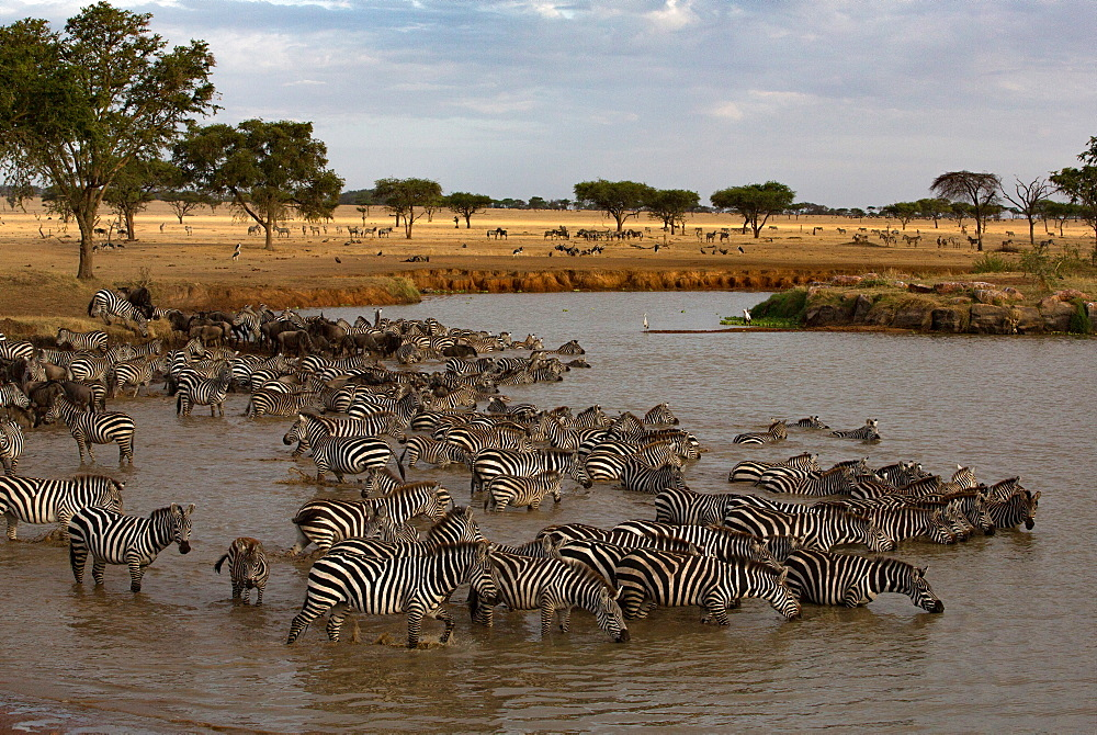 Serengeti National Park. Herd of zebras (Equus quagga) drinking water. Tanzania.