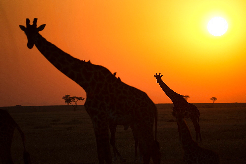 Silhouettes of giraffe (Giraffa camelopardalis) at sunset, Serengeti National Park, Tanzania, East Africa, Africa
