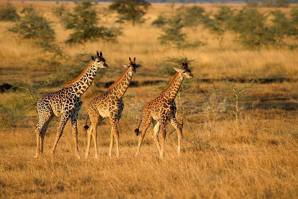 Serengeti National Park. Young Giraffes ( (Giraffa camelopardalis ). Tanzania.