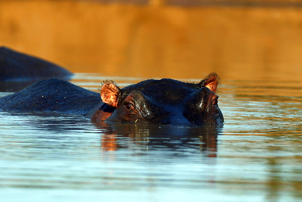 Kruger National Park. Hippopotamus Emersed in Water. South Africa.
