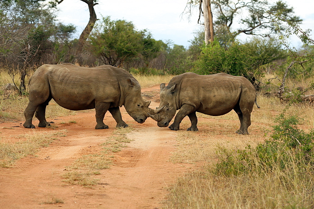 Kruger National Park. White Rhinoceros (Ceratotherium simum) pair. South Africa.
